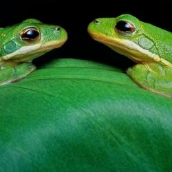 Пазл онлайн: Зеленые древесные лягушки