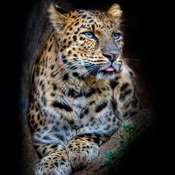 Пазл онлайн: Портреты животных. Леопард
