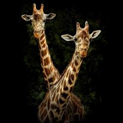 Пазл онлайн: Портреты животных. Жирафы