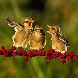 Пазл онлайн: Птенцы на ветке