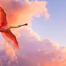 Пазл онлайн: Розовый фламинго в полете