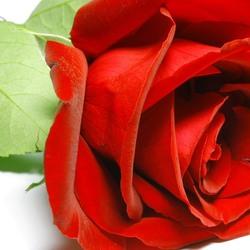 Пазл онлайн: Роза красная