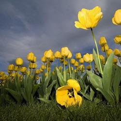 Пазл онлайн: Поле жёлтых тюльпанов
