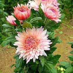 Пазл онлайн: Куст розовых хризантем