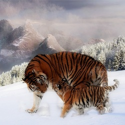 Пазл онлайн: Тигры