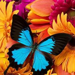 Пазл онлайн: Герберы и бабочка