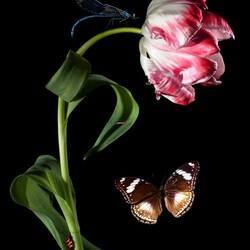 Пазл онлайн: Тюльпан и бабочка