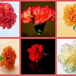 Пазл онлайн: Цветок гвоздики