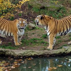 Пазл онлайн: Тигры у реки