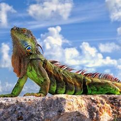 Пазл онлайн: Зеленая игуана(Флоридский дракон)