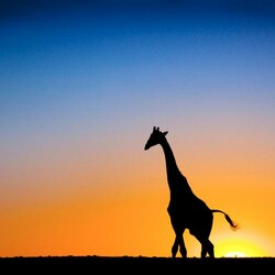 Пазл онлайн: Жираф большо-о-й