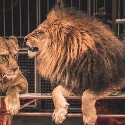 Пазл онлайн: Львы