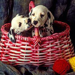 Пазл онлайн: Два маленьких далматинца