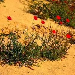 Пазл онлайн: Маки в пустыне
