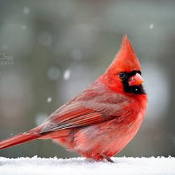Пазл онлайн: Кардинал зимой