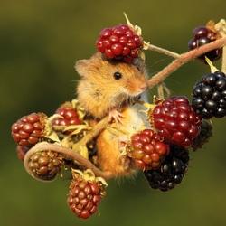 Пазл онлайн: Мышь
