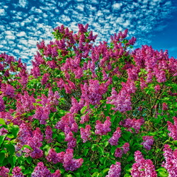 Пазл онлайн: Сирень цветет