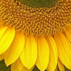 Пазл онлайн: Подсолнух – цветок Солнца