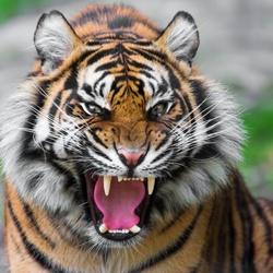 Пазл онлайн: Тигриный оскал