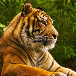 Пазл онлайн: Тигр