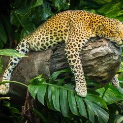Пазл онлайн: Леопард отдыхает