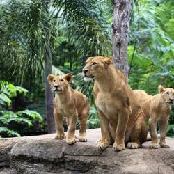 Пазл онлайн: Львица с детенышами