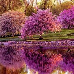 Пазл онлайн: Сакура в цвету