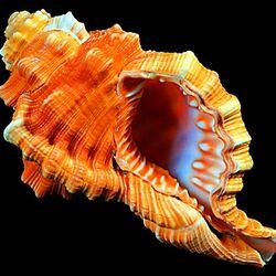 Пазл онлайн: Морская раковина