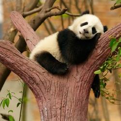 Пазл онлайн: Панда