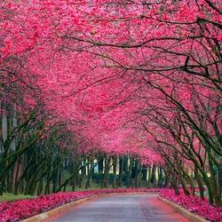 Пазл онлайн: Цветение вишни
