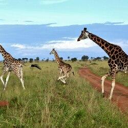 Пазл онлайн: Жирафы