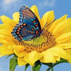 Пазл онлайн: Бабочка и подсолнух
