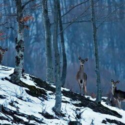 Пазл онлайн: Олени в лесу