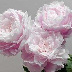Пазл онлайн: Розовые пионы