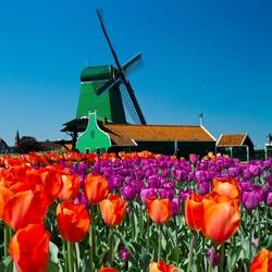 Пазл онлайн: Тюльпаны у мельницы