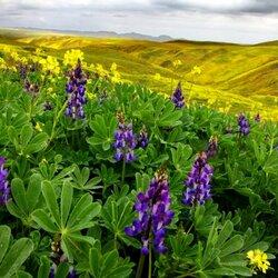 Пазл онлайн: Цветы Сьерра-Невады