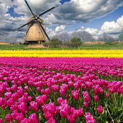 Пазл онлайн: Тюльпановы поля