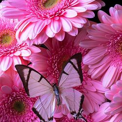 Пазл онлайн: Герберы и розовая бабочка