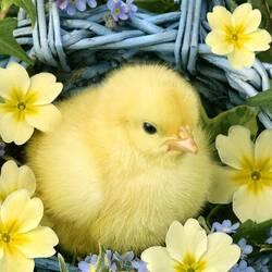Пазл онлайн: Цыпленок