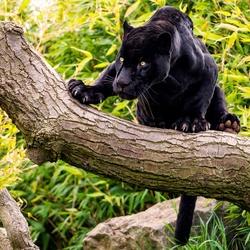 Пазл онлайн: Пантера