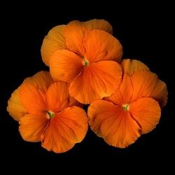 Пазл онлайн: Оранжевое трио