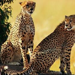 Пазл онлайн: Гепарды
