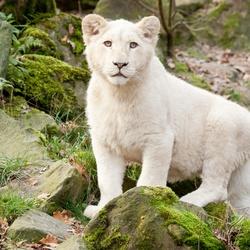 Пазл онлайн: Белый львенок