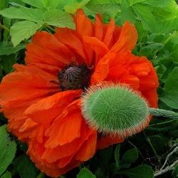 Пазл онлайн: Маков цвет