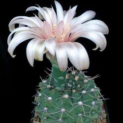 Пазл онлайн: Цветение кактуса