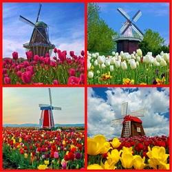 Пазл онлайн: Мельницы в тюльпанах
