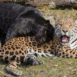 Пазл онлайн: Ягуары