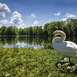 Пазл онлайн: Одинокий лебедь