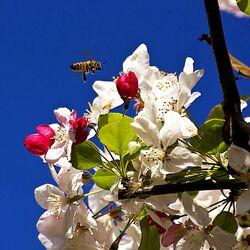 Пазл онлайн: Опыление яблони