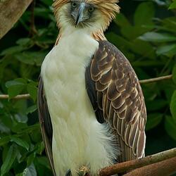 Пазл онлайн: Орел обезьяноед